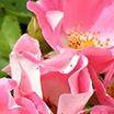Chypre Floral